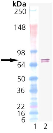 TRAP1 (human), (recombinant) (His-tag) Western blot
