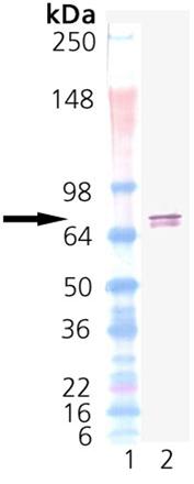 TRAP1 (human), (recombinant) (His-tag) Western blot