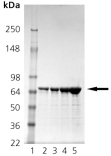 HSP71 (M. tuberculosis), (recombinant) SDS-PAGE