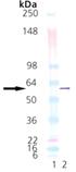 PDI (human), (recombinant) (His-tag) Western blot