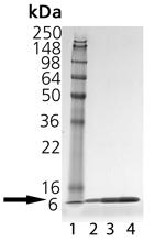 Thioredoxin (E. coli), (recombinant) (His-tag) SDS-PAGE