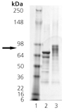 HSF1 (phosphorylated) (human), (recombinant) (His-tag) SDS-PAGE