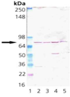 Grp75/Mortalin polyclonal antibody Western blot