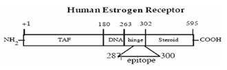 Estrogen receptor monoclonal antibody (h-151) Schematic structure