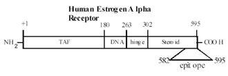 Estrogen receptor alpha monoclonal antibody (C-542) Schematic structure