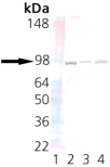 UNC45a monoclonal antibody (AbS1) Western blot