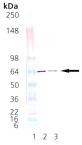 HOP (human), (recombinant) Western blot