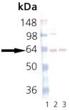 Synaptotagmin monoclonal antibody (ASV30) Western blot