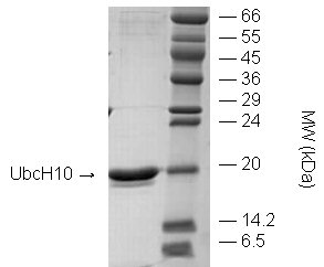 UbcH10 (human), (recombinant) (untagged) SDS-PAGE