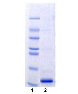 pro-NEDD8 (human), (recombinant) (His-tag) SDS-PAGE