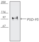 PSD-95 monoclonal antibody (6G6-1C9) Western blot