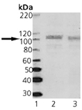 SAP102 monoclonal antibody (7D3 monoclonal antibody 119) Western blot