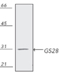 GS28 monoclonal antibody (HFD9) Western blot