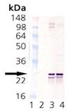 SNAP-25 monoclonal antibody (SP12) Western blot