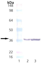 Syntaxin monoclonal antibody (SP6) Western blot