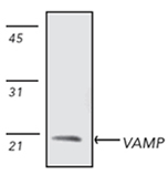 VAMP2 monoclonal antibody (SP10) Western blot