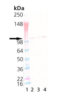 rSec8 monoclonal antibody (14G1) Western blot