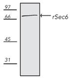 rSec6 monoclonal antibody (9H5) Western blot