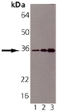 Syntaxin 6 monoclonal antibody (3D10) Western blot