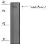 Transferrin polyclonal antibody Western blot