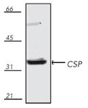 CSP polyclonal antibody Western blot