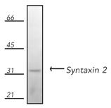 Syntaxin 2 polyclonal antibody Western blot