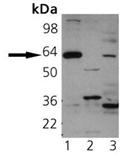 Synaptotagmin I polyclonal antibody Western blot