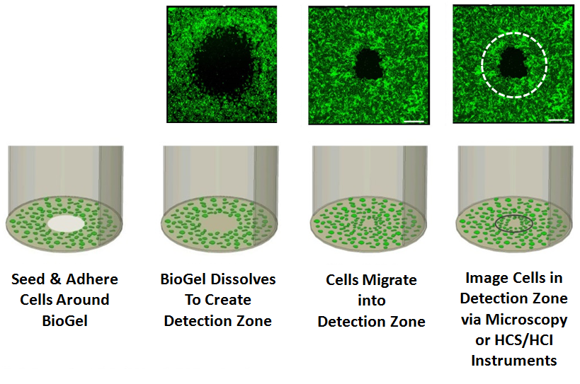 Cell Migration BioGel Assays