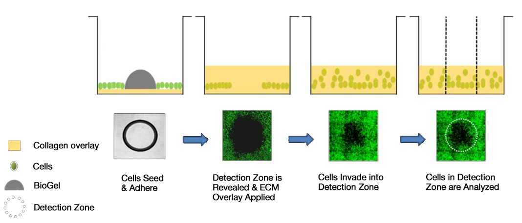 Cell Migration BioGel and Invasion Assays