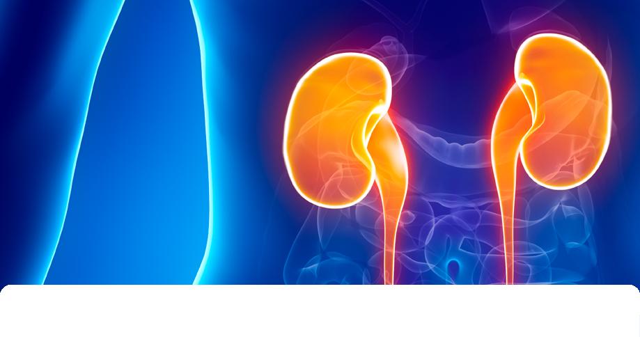 Assessment Of Kidney Injury Nephrotoxicity Enzo Life Sciences