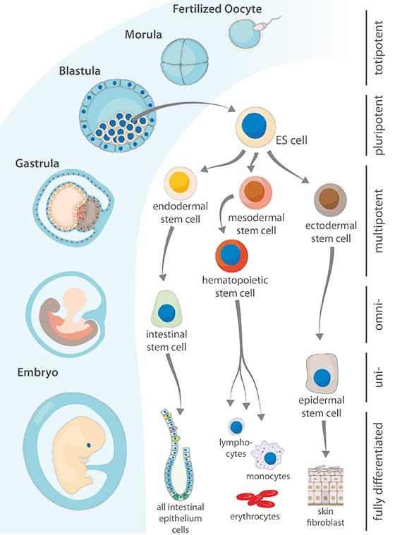 Potency Tree of Stem Cells