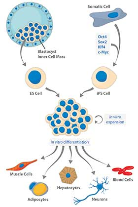 Embryonic Stem Cells vs. Induced Pluripotent Stem Cells
