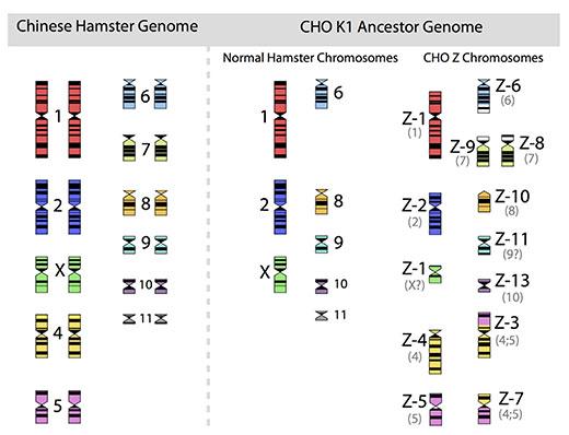 CHO Cells Chromozomes