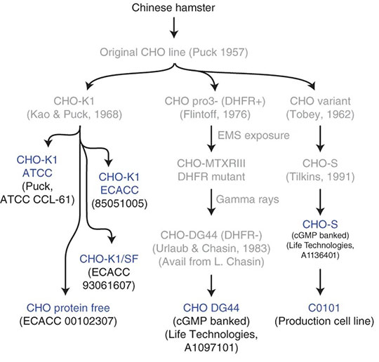 CHO Cells