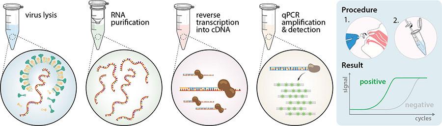 How Do Coronavirus Disease Covid 19 Tests Work Enzo Life Sciences