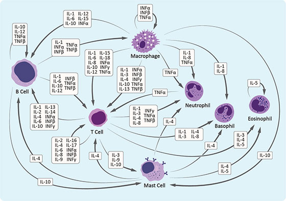 The Cytokine Network in Lymphocytes