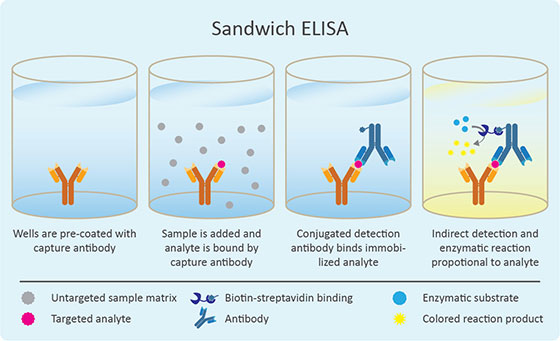 The Principle of Sandwich ELISAs