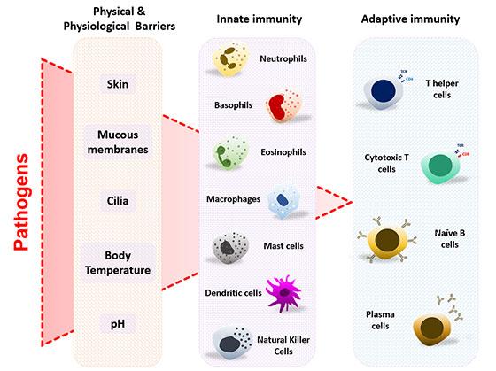 Representation of the three layers of immune defense in vertebrates