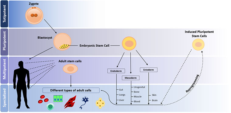 Different levels of stem cells potency