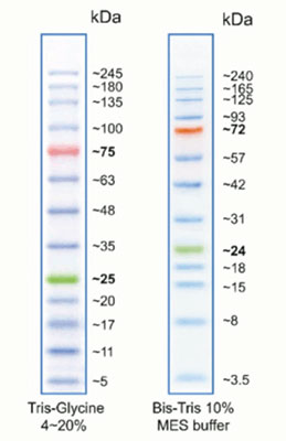 Prestained Protein Ladder for Western Blot